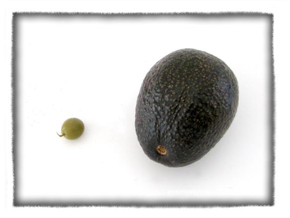 avocadolive